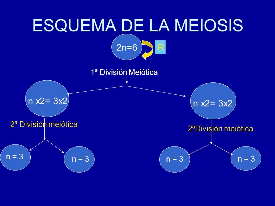 ESQUEMA DE LA MEIOSIS 2n=6 R n x2= 3x2 n x2= 3x2 n2 =6