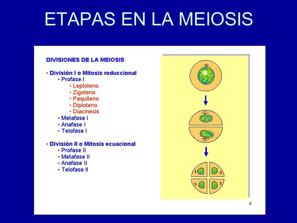 ETAPAS EN LA MEIOSIS