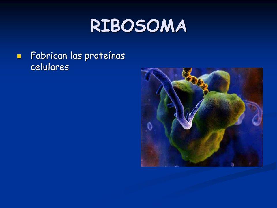 RIBOSOMA Fabrican las proteínas celulares