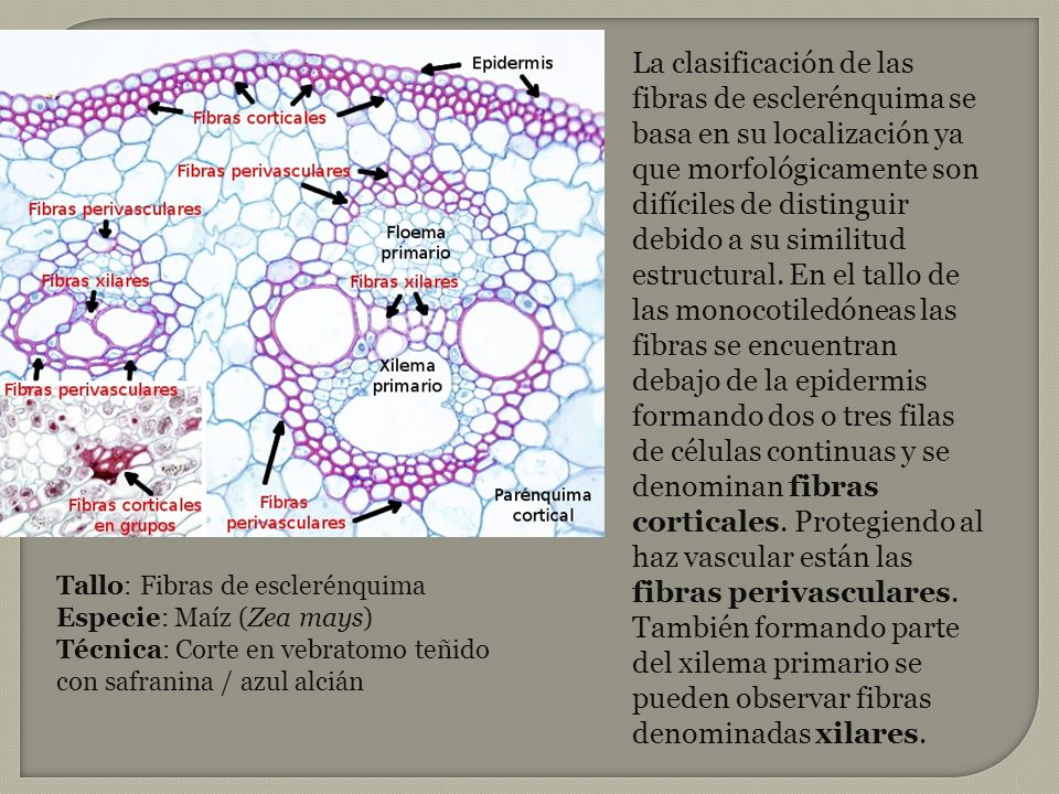 La clasificación de las fibras de esclerénquima se basa en su localización ya que morfológicamente son difíciles de distinguir debido a su similitud estructural. En el tallo de las monocotiledóneas las fibras se encuentran debajo de la epidermis formando dos o tres filas de células continuas y se denominan fibras corticales. Protegiendo al haz vascular están las fibras perivasculares. También formando parte del xilema primario se pueden observar fibras denominadas xilares.
