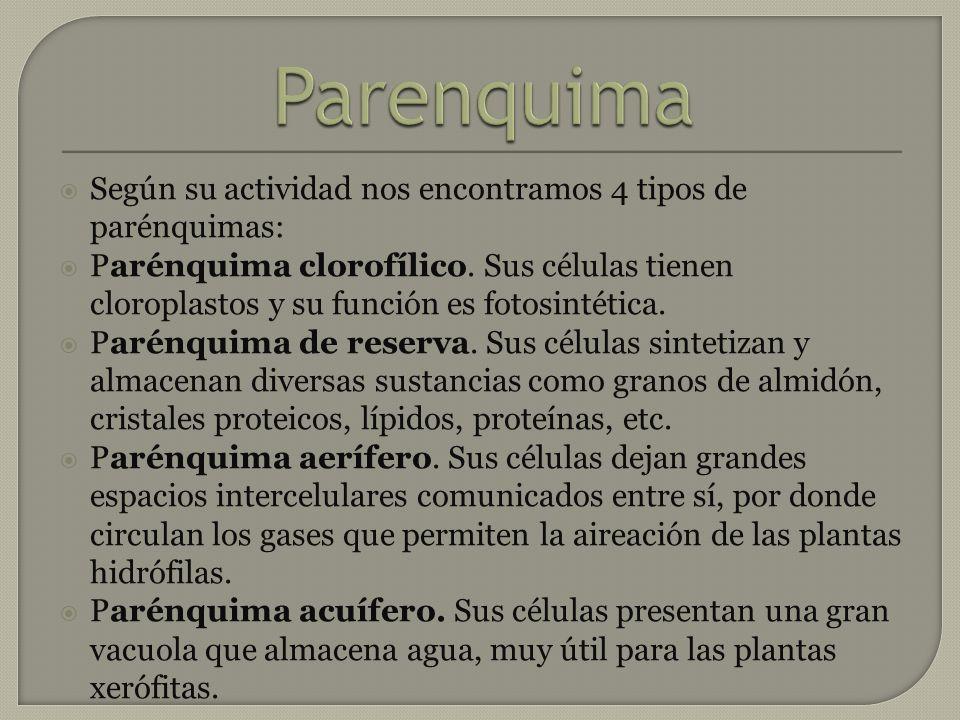 Parenquima Según su actividad nos encontramos 4 tipos de parénquimas: