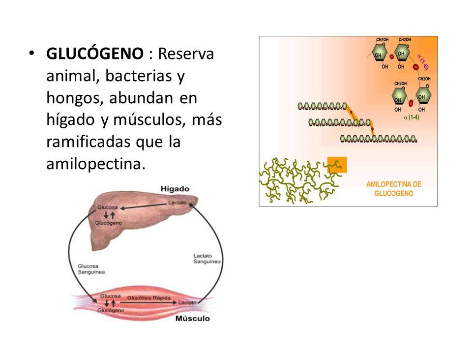 GLUCÓGENO : Reserva animal, bacterias y hongos, abundan en hígado y músculos, más ramificadas que la amilopectina.