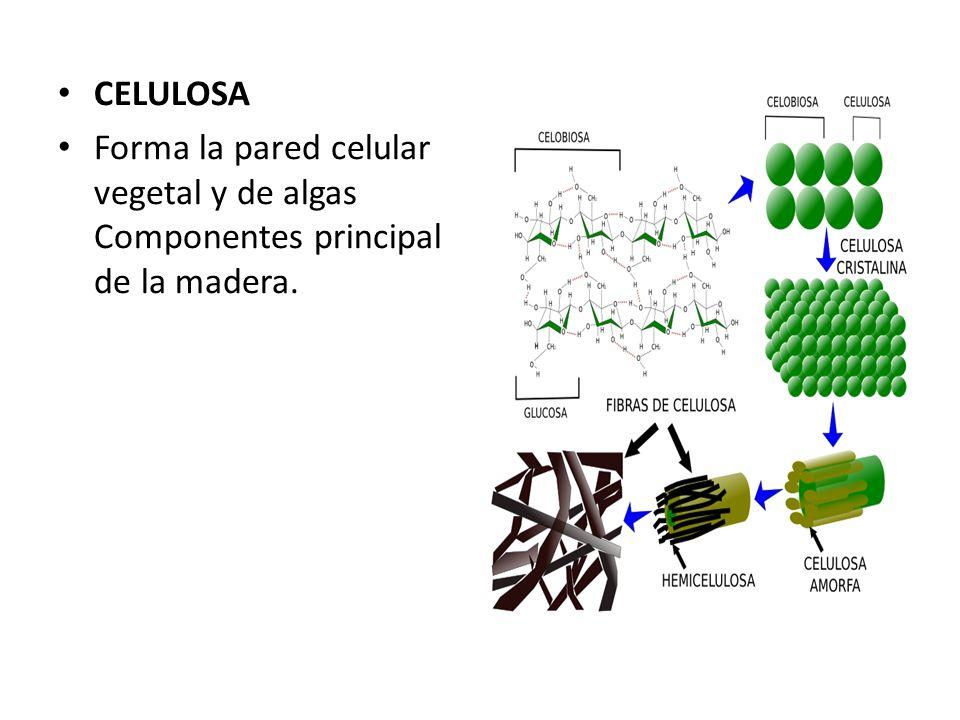 CELULOSA Forma la pared celular vegetal y de algas Componentes principal de la madera.