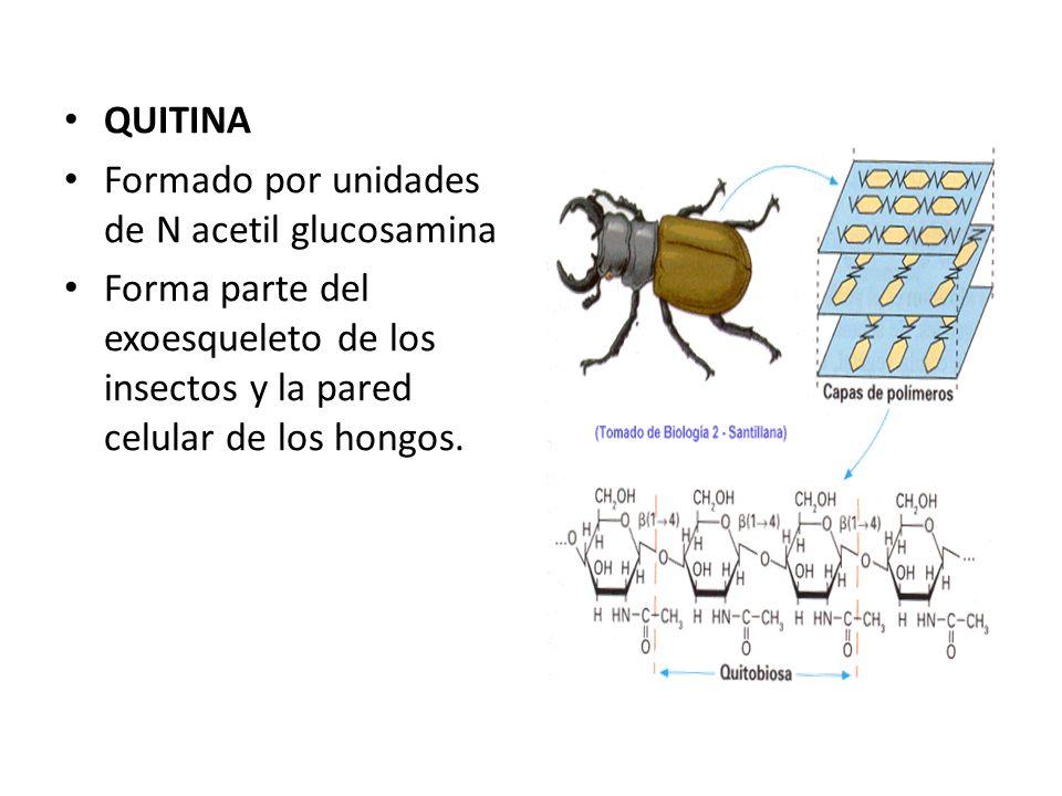 QUITINA Formado por unidades de N acetil glucosamina.