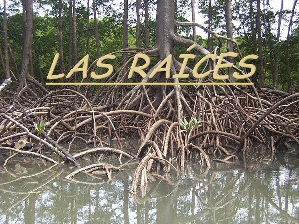 Las raíces
