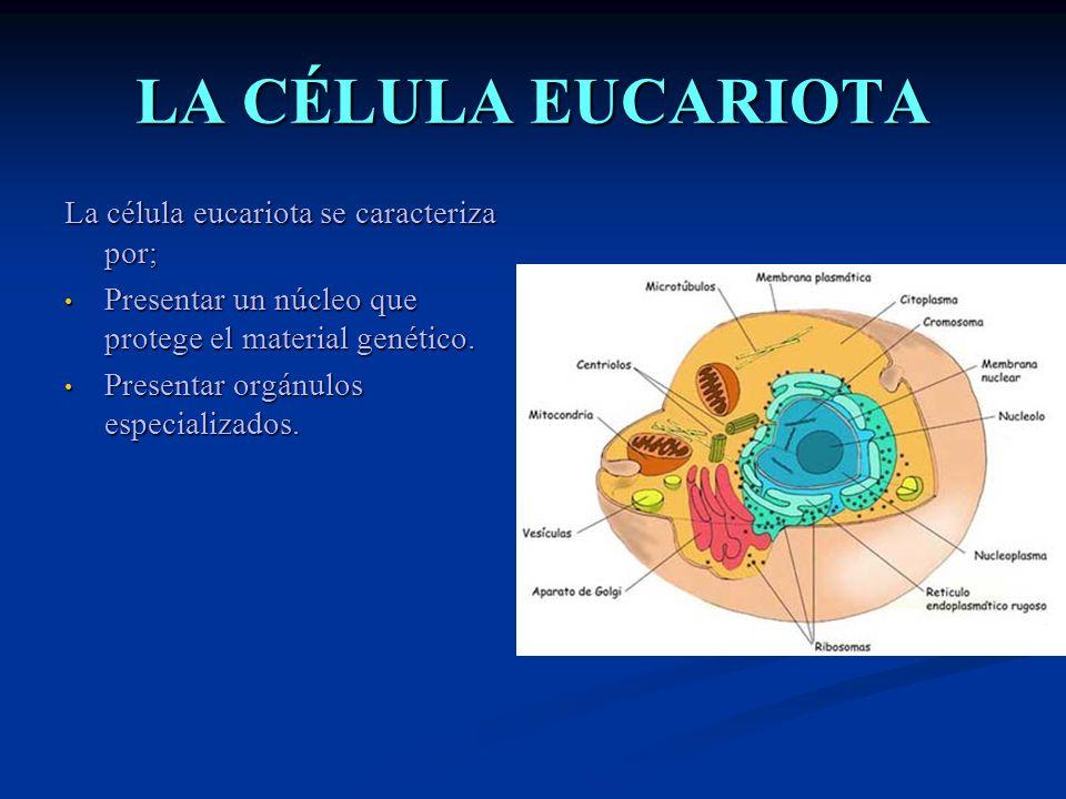 LA CÉLULA EUCARIOTA La célula eucariota se caracteriza por;