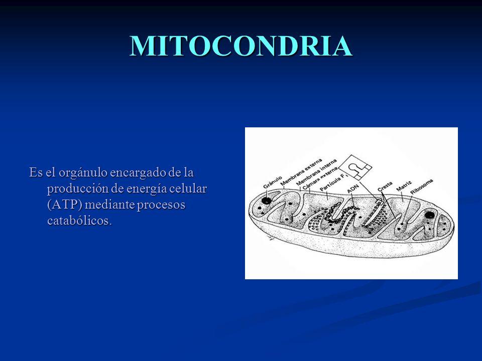 MITOCONDRIA Es el orgánulo encargado de la producción de energía celular (ATP) mediante procesos catabólicos.