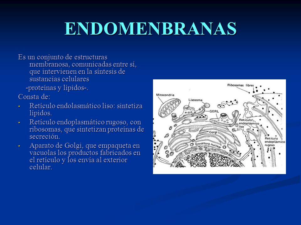 ENDOMENBRANAS Es un conjunto de estructuras membranosa, comunicadas entre sí, que intervienen en la síntesis de sustancias celulares.