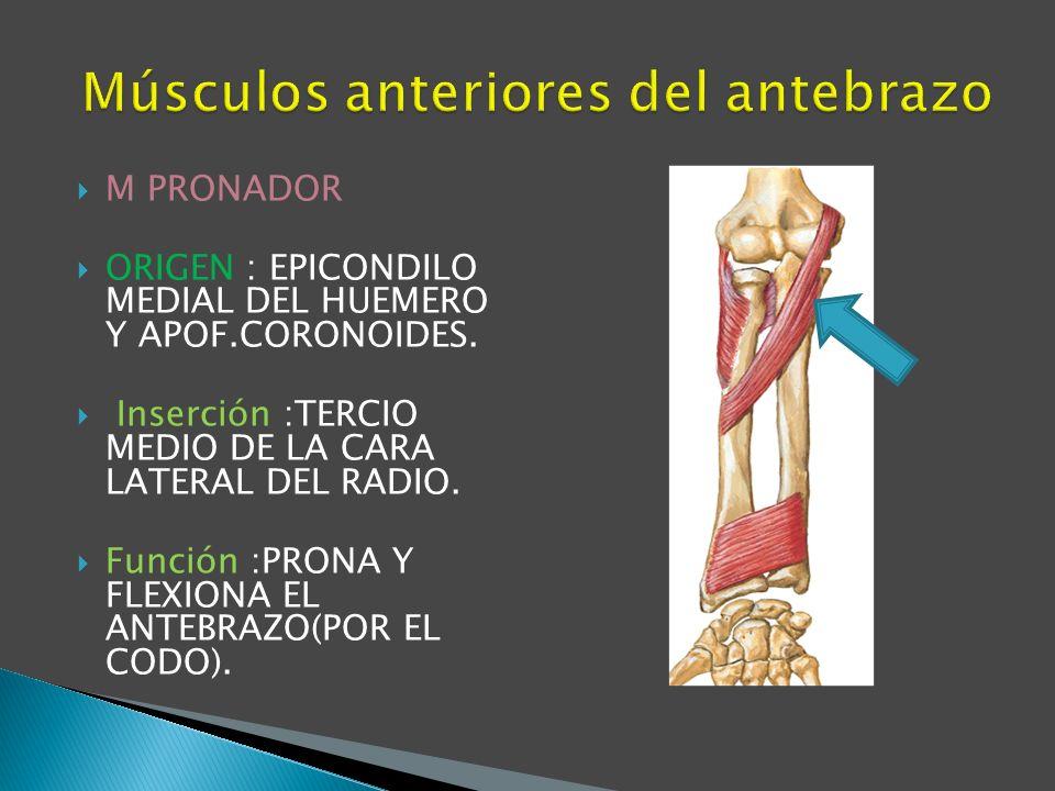 Músculos anteriores del antebrazo
