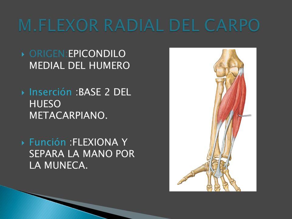 M.FLEXOR RADIAL DEL CARPO