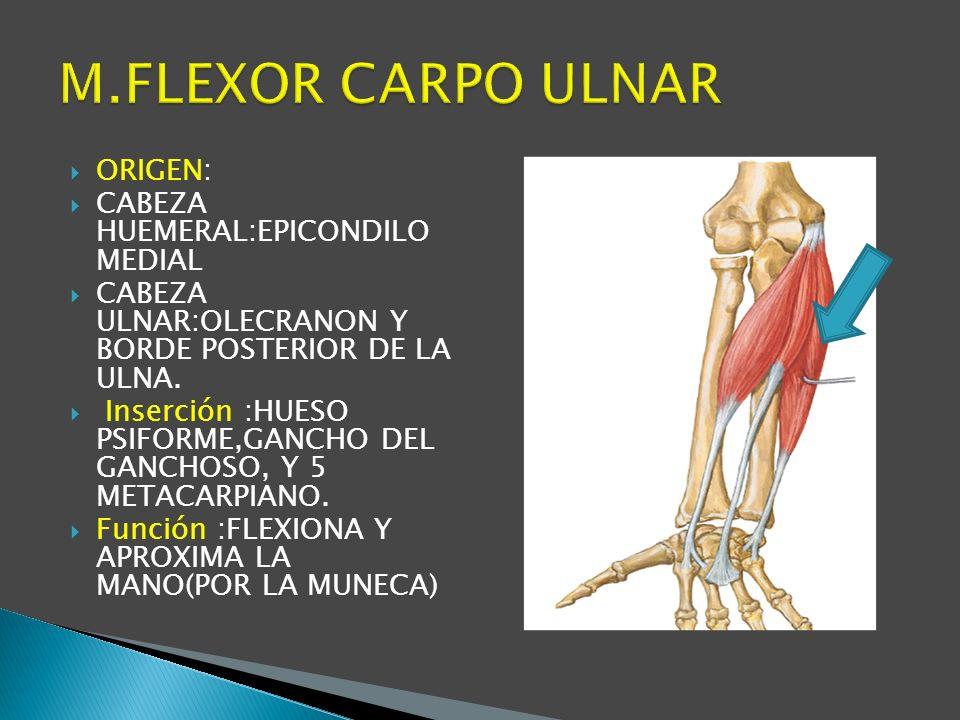 M.FLEXOR CARPO ULNAR ORIGEN: CABEZA HUEMERAL:EPICONDILO MEDIAL