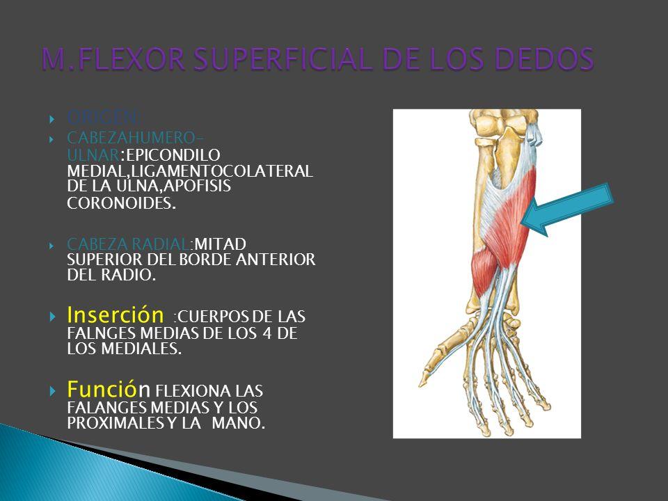 M.FLEXOR SUPERFICIAL DE LOS DEDOS