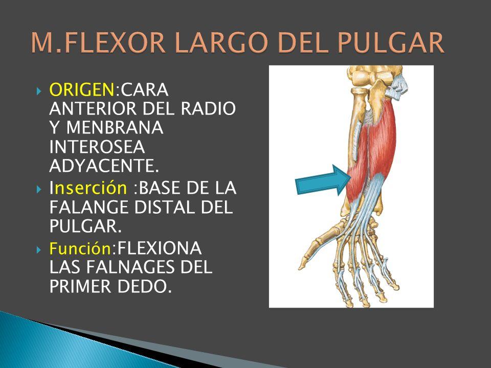 M.FLEXOR LARGO DEL PULGAR