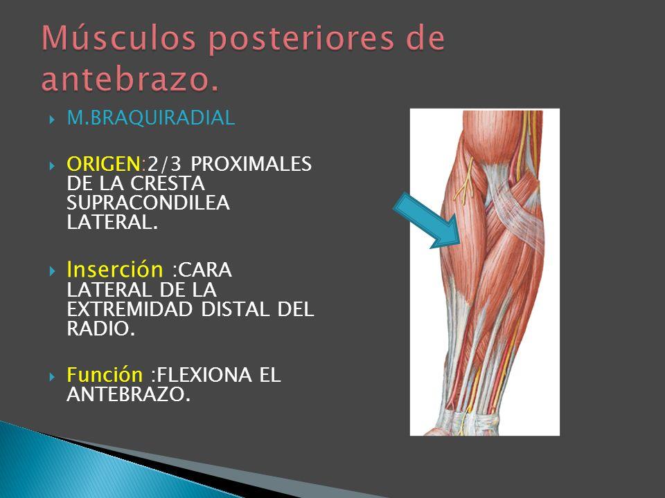 Músculos posteriores de antebrazo.