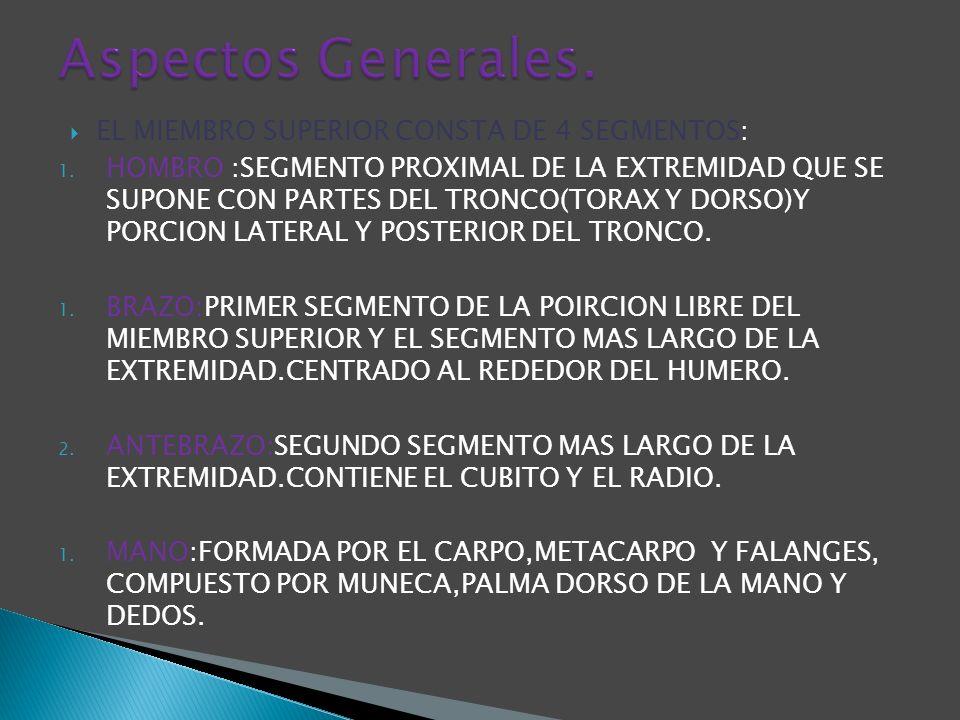 Aspectos Generales. EL MIEMBRO SUPERIOR CONSTA DE 4 SEGMENTOS: