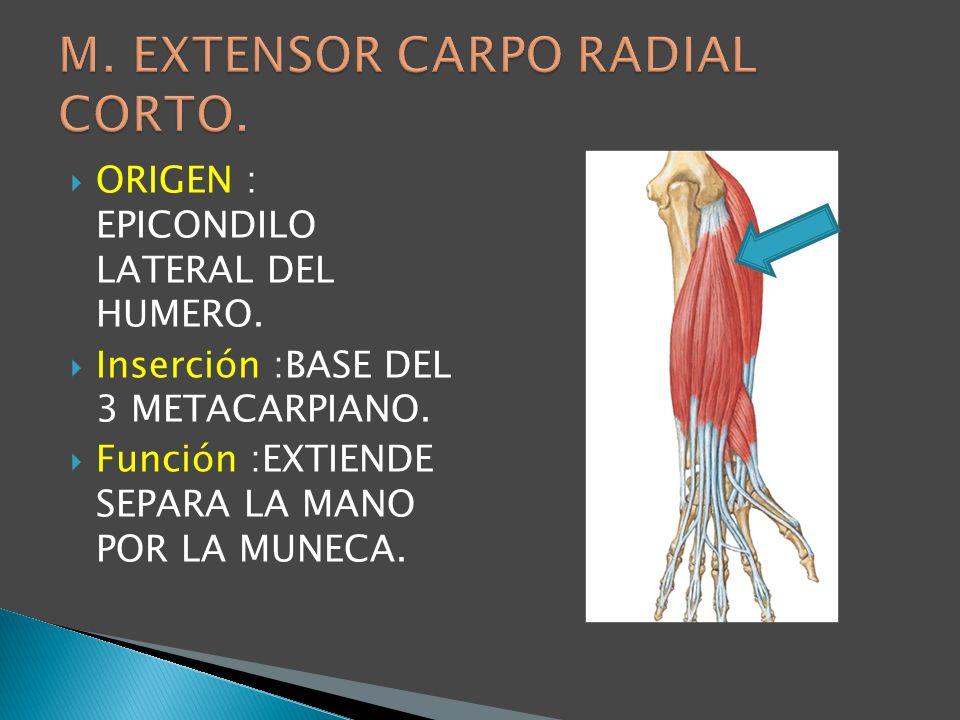 M. EXTENSOR CARPO RADIAL CORTO.
