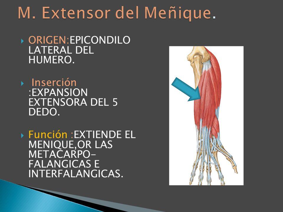 M. Extensor del Meñique. ORIGEN:EPICONDILO LATERAL DEL HUMERO.