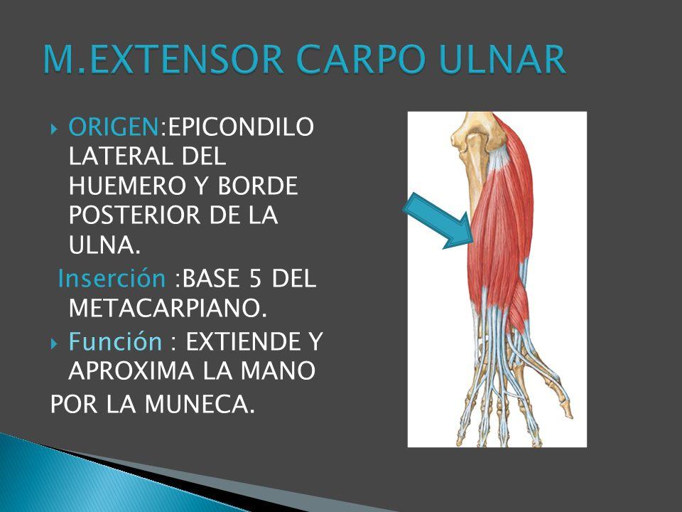 M.EXTENSOR CARPO ULNAR ORIGEN:EPICONDILO LATERAL DEL HUEMERO Y BORDE POSTERIOR DE LA ULNA. Inserción :BASE 5 DEL METACARPIANO.
