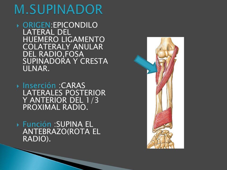 M.SUPINADOR ORIGEN:EPICONDILO LATERAL DEL HUEMERO LIGAMENTO COLATERALY ANULAR DEL RADIO,FOSA SUPINADORA Y CRESTA ULNAR.