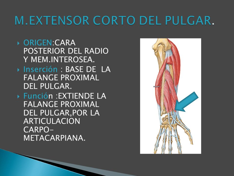 M.EXTENSOR CORTO DEL PULGAR.