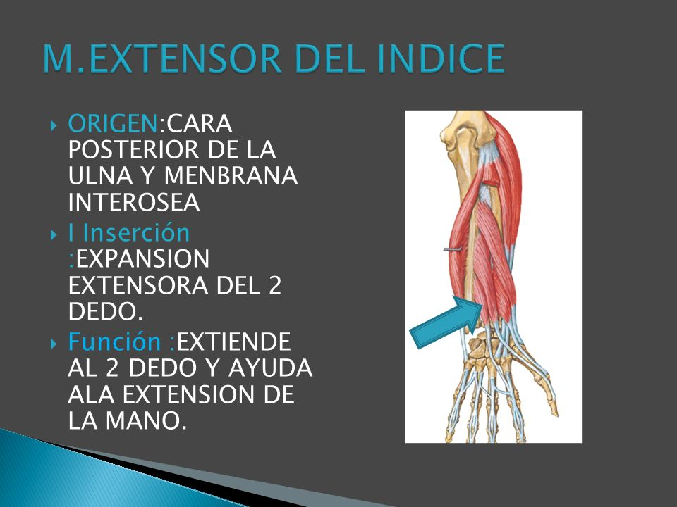 M.EXTENSOR DEL INDICE ORIGEN:CARA POSTERIOR DE LA ULNA Y MENBRANA INTEROSEA. I Inserción :EXPANSION EXTENSORA DEL 2 DEDO.