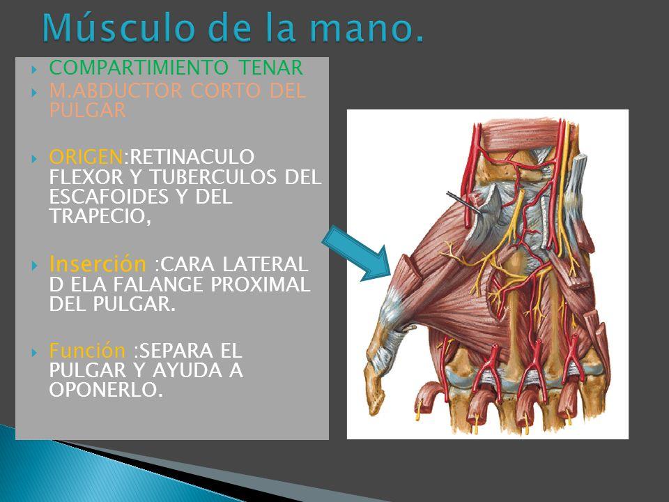 Músculo de la mano. COMPARTIMIENTO TENAR. M.ABDUCTOR CORTO DEL PULGAR. ORIGEN:RETINACULO FLEXOR Y TUBERCULOS DEL ESCAFOIDES Y DEL TRAPECIO,