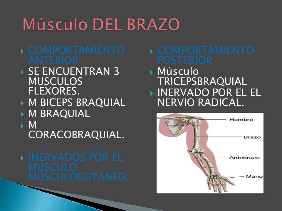 Músculo DEL BRAZO COMPORTAMIENTO ANTERIOR
