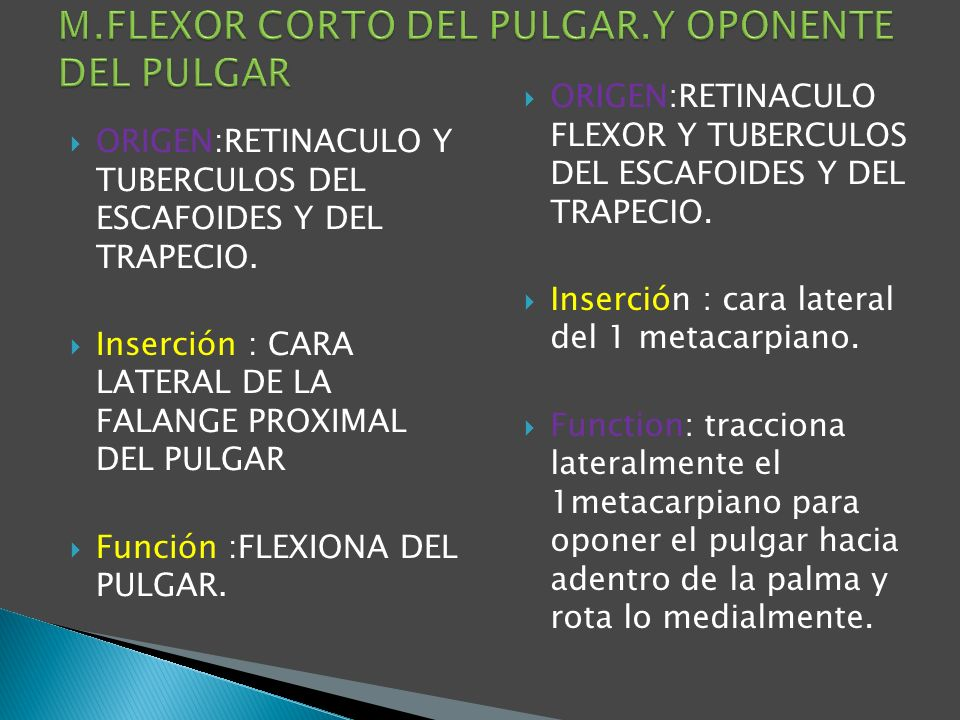 M.FLEXOR CORTO DEL PULGAR.Y OPONENTE DEL PULGAR