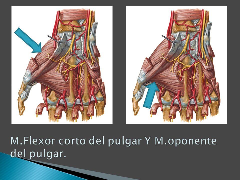 M.Flexor corto del pulgar Y M.oponente del pulgar.
