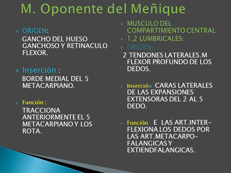 M. Oponente del Meñique Inserción : MUSCULO DEL COMPARTIMIENTO CENTRAL