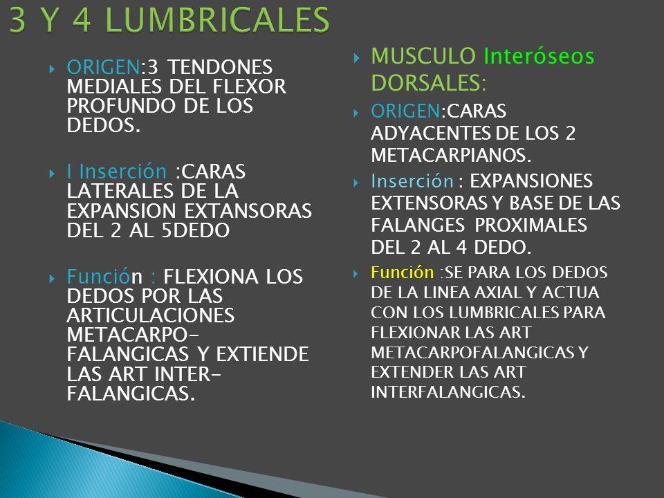 3 Y 4 LUMBRICALES MUSCULO Interóseos DORSALES: