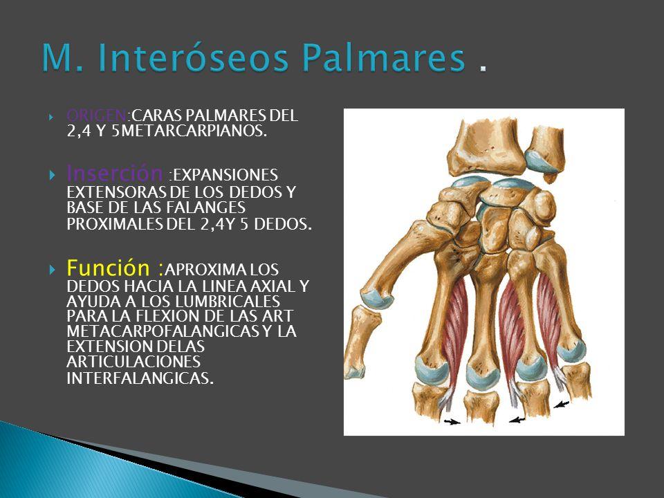 M. Interóseos Palmares . ORIGEN:CARAS PALMARES DEL 2,4 Y 5METARCARPIANOS.