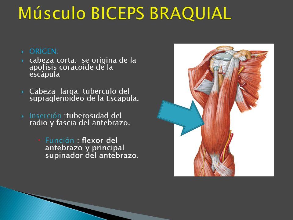 Músculo BICEPS BRAQUIAL
