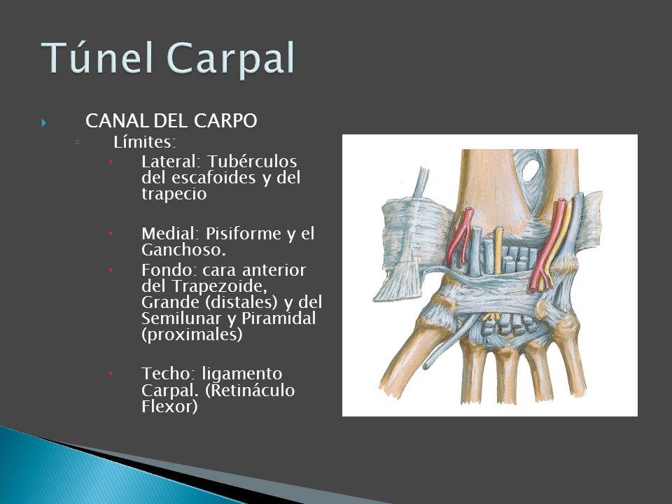 Túnel Carpal CANAL DEL CARPO Límites: