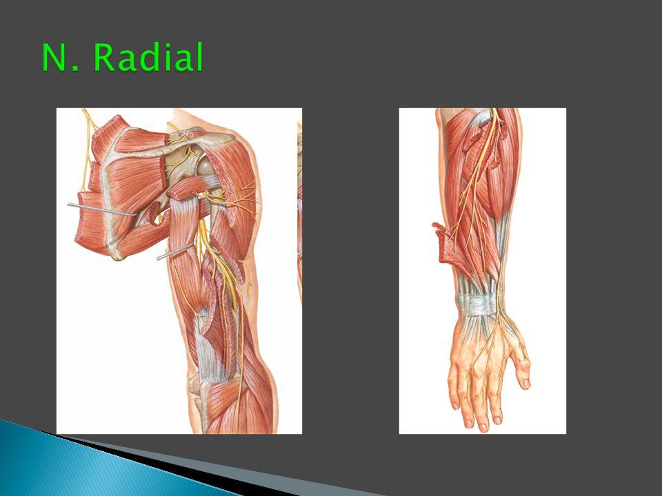N. Radial
