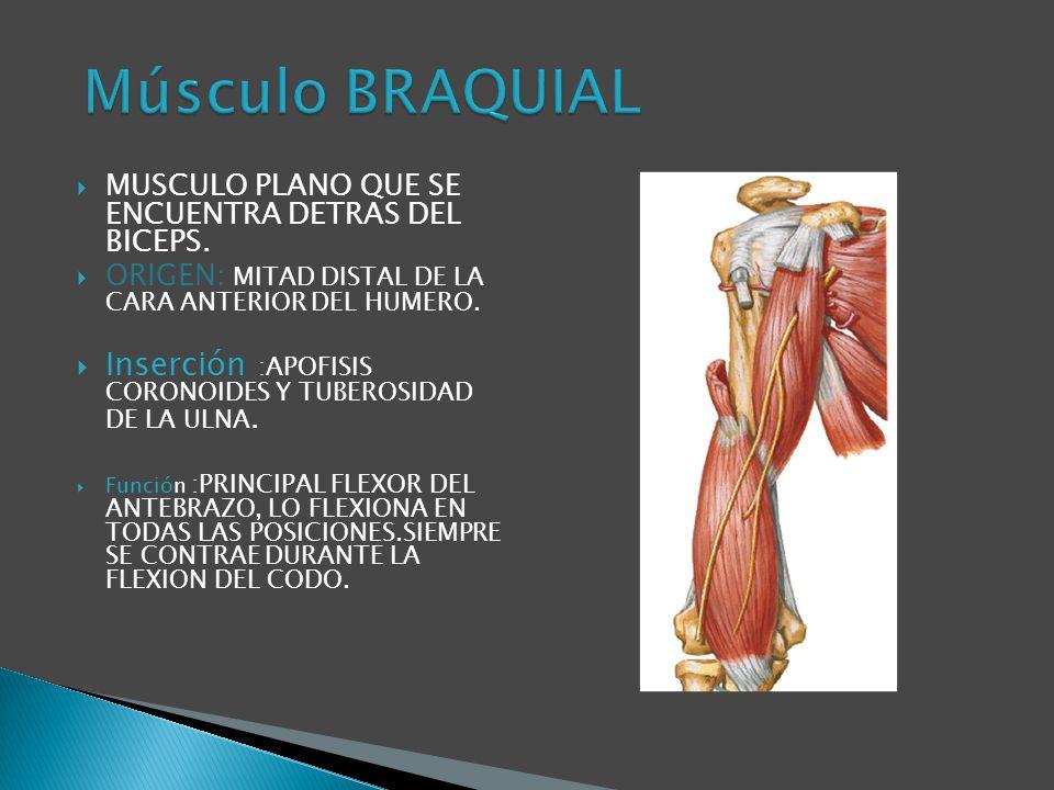 Músculo BRAQUIAL MUSCULO PLANO QUE SE ENCUENTRA DETRAS DEL BICEPS. ORIGEN: MITAD DISTAL DE LA CARA ANTERIOR DEL HUMERO.