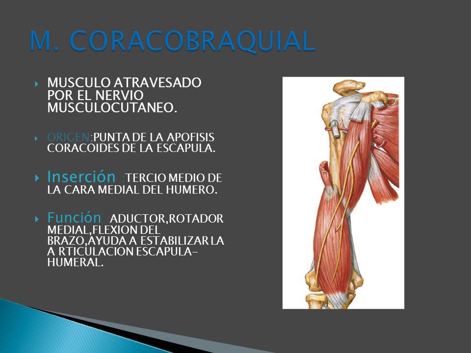 M. CORACOBRAQUIAL MUSCULO ATRAVESADO POR EL NERVIO MUSCULOCUTANEO. ORIGEN:PUNTA DE LA APOFISIS CORACOIDES DE LA ESCAPULA.