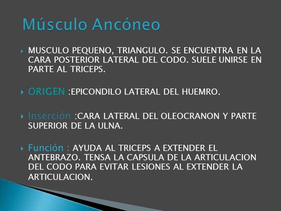Músculo Ancóneo ORIGEN :EPICONDILO LATERAL DEL HUEMRO.