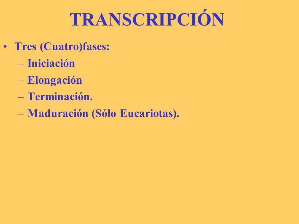 TRANSCRIPCIÓN Tres (Cuatro)fases: Iniciación Elongación Terminación.