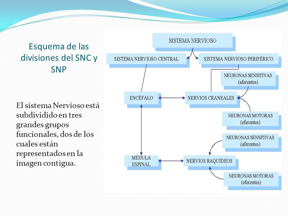 Esquema de las divisiones del SNC y SNP