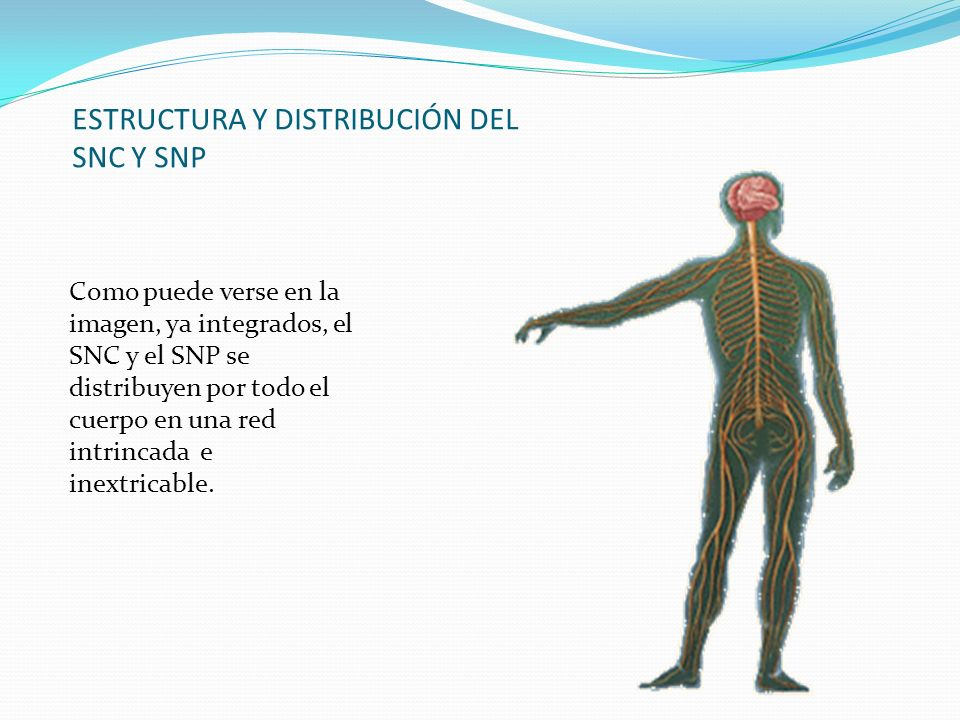 ESTRUCTURA Y DISTRIBUCIÓN DEL SNC Y SNP