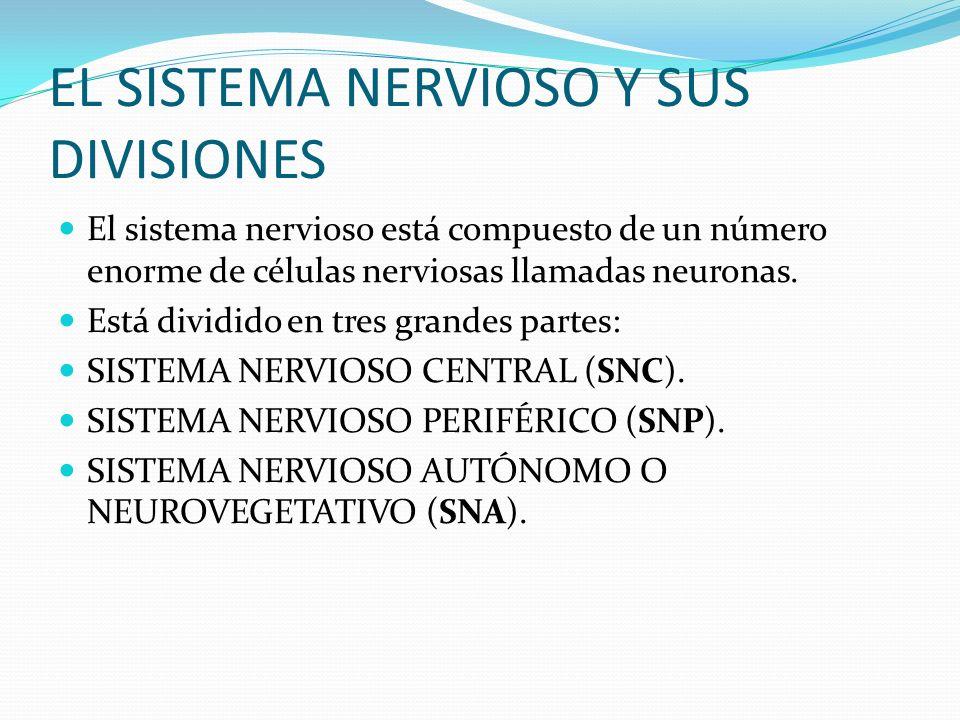 EL SISTEMA NERVIOSO Y SUS DIVISIONES