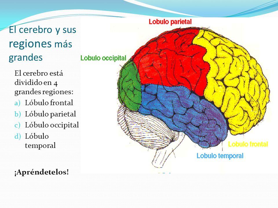 El cerebro y sus regiones más grandes