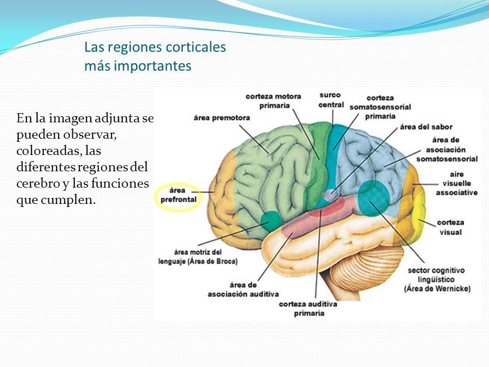 Las regiones corticales más importantes