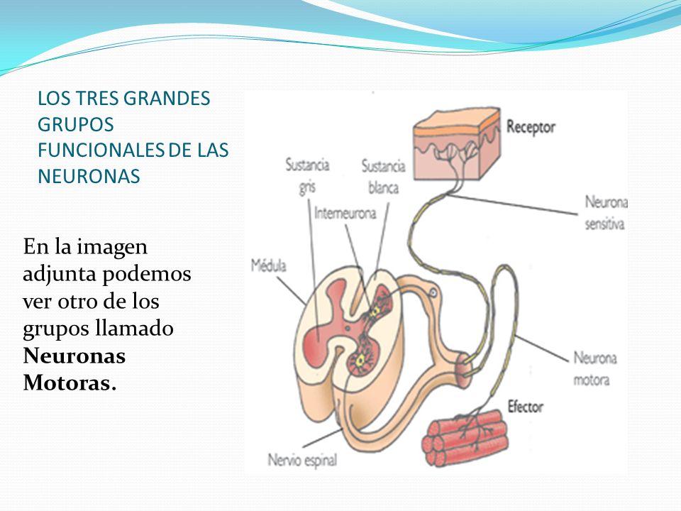 LOS TRES GRANDES GRUPOS FUNCIONALES DE LAS NEURONAS