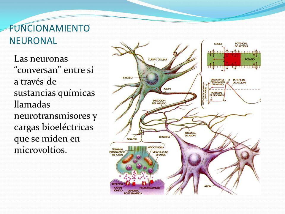 FUNCIONAMIENTO NEURONAL
