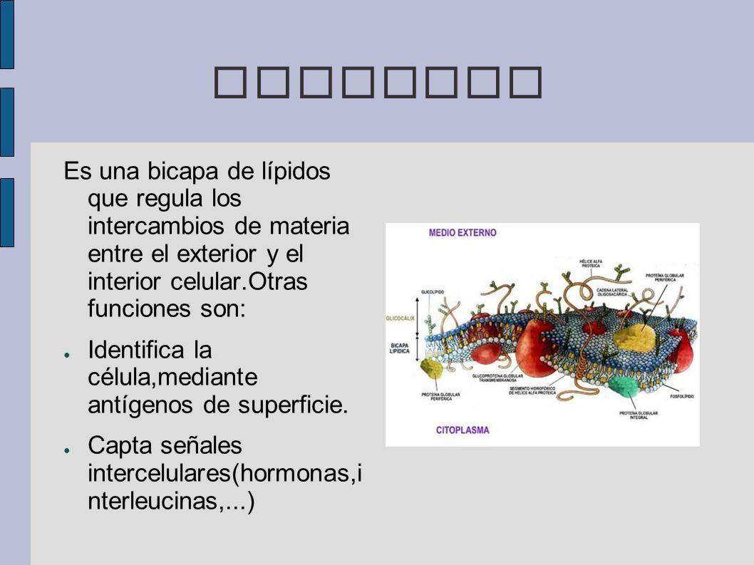 MEMBRANA Es una bicapa de lípidos que regula los intercambios de materia entre el exterior y el interior celular.Otras funciones son: