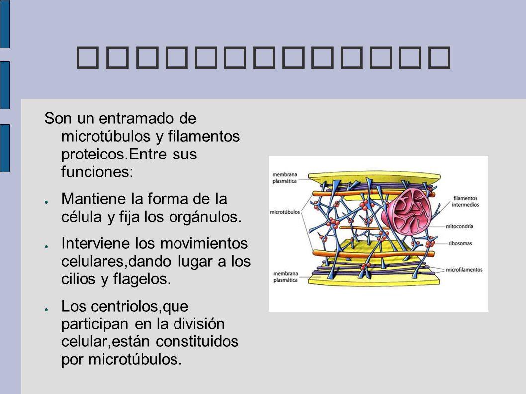 CITOESQUELETO Son un entramado de microtúbulos y filamentos proteicos.Entre sus funciones: Mantiene la forma de la célula y fija los orgánulos.