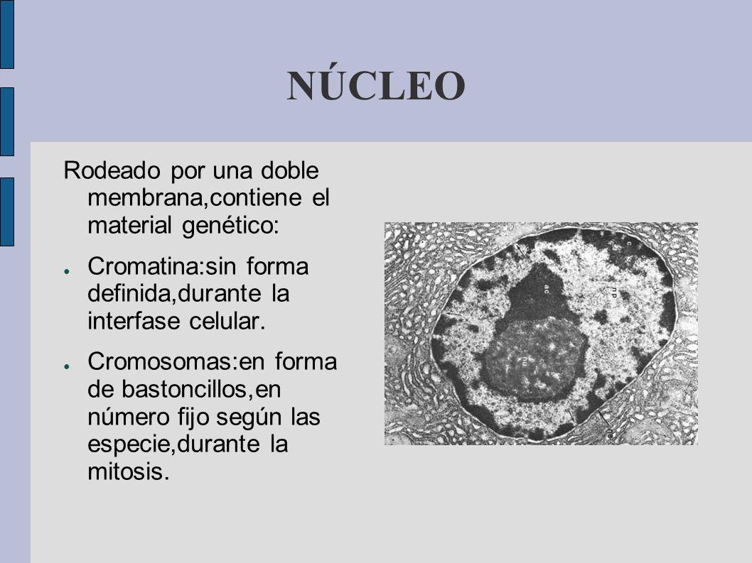 NÚCLEO Rodeado por una doble membrana,contiene el material genético: