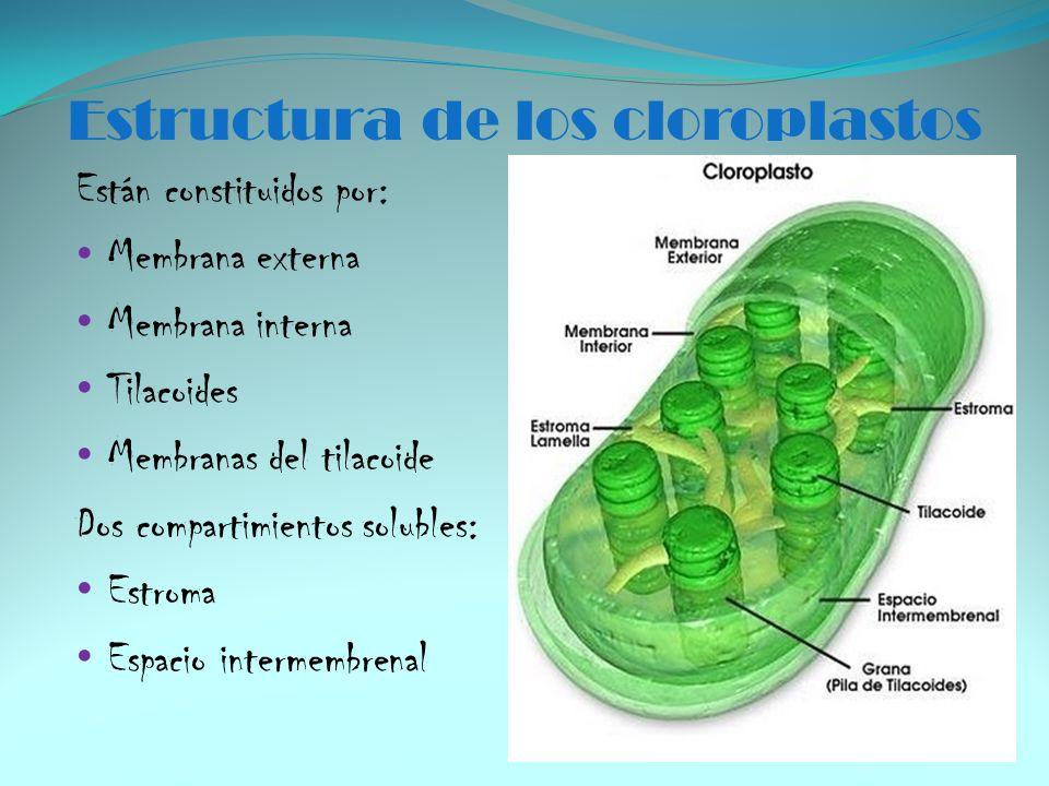 Estructura de los cloroplastos